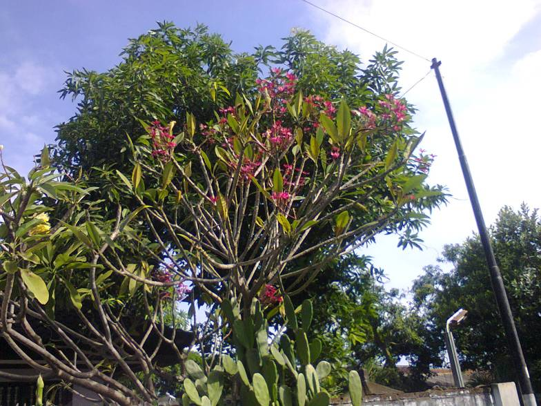 Pohon Biola Cantik / Ketapang | Rumput Gajah Mini | Page 7
